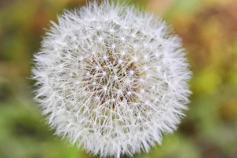 Macro of a dandelion clock seeds. Macro of a dandelion clock that has seeded.  The natural symmetry is amazing royalty free stock images