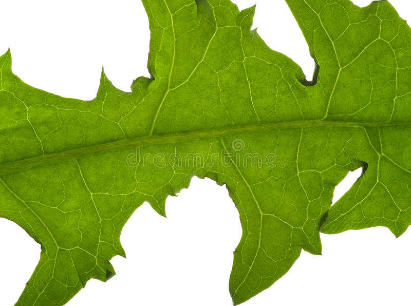 Macro dandelion leaf royalty free stock photo