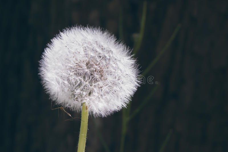 Macro of dandelion puff with mosquito royalty free stock photos