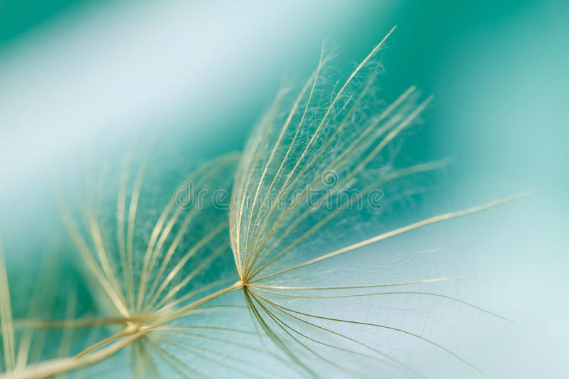 Macro of dandelion seed royalty free stock image