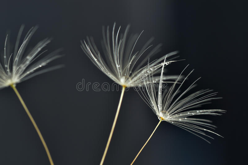 Macro of danelion seeds with water drops royalty free stock images
