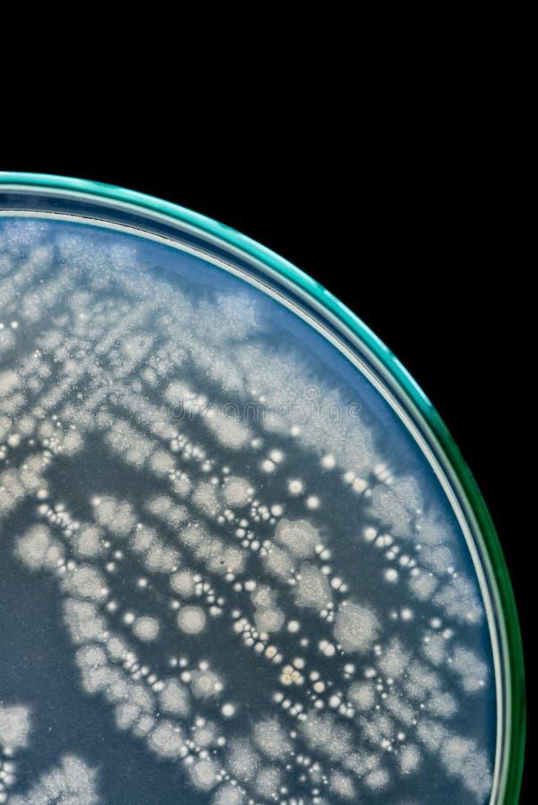 Macro das bactérias no prato de petri no fundo preto fotografia de stock