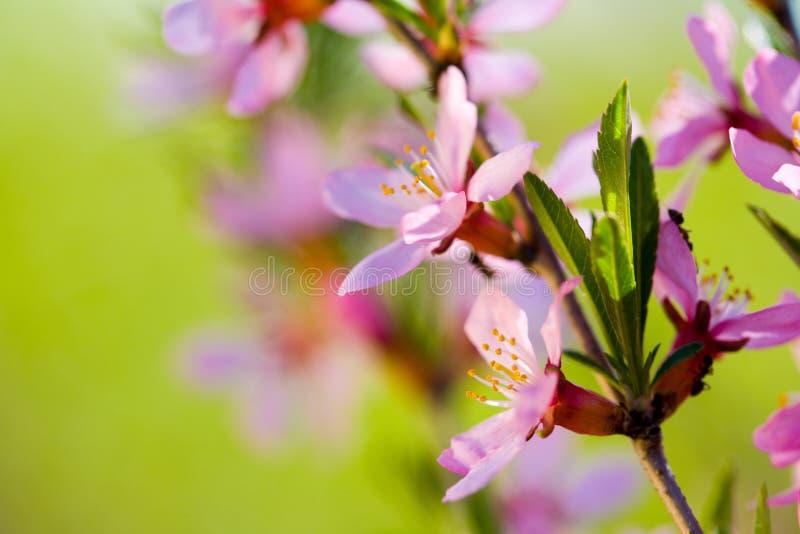Macro das flores da árvore de amêndoa fotografia de stock