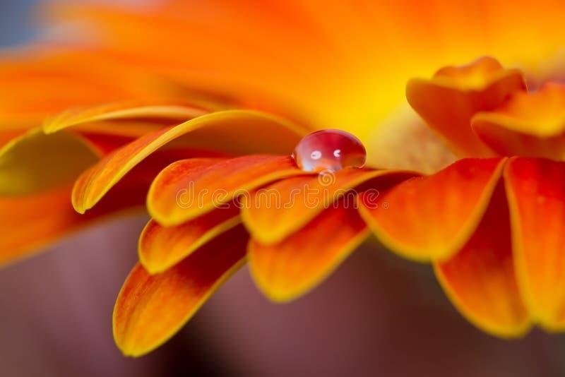 Macro das gotas na flor alaranjada imagem de stock royalty free