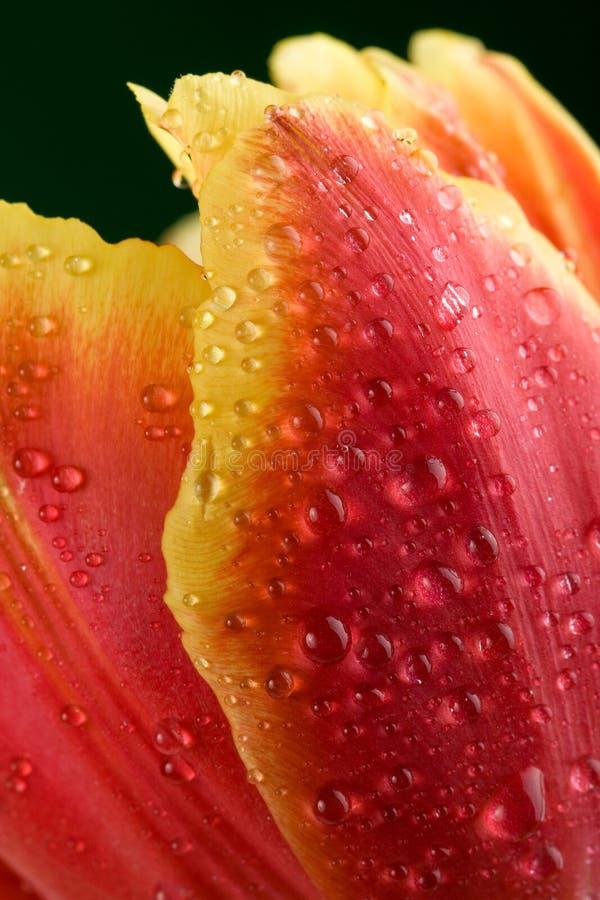 Macro das pétalas do tulip fotos de stock