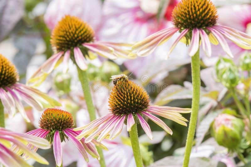 Macro de abelha Longo-horned Melissodes em Decker Cone Flower dobro fotografia de stock