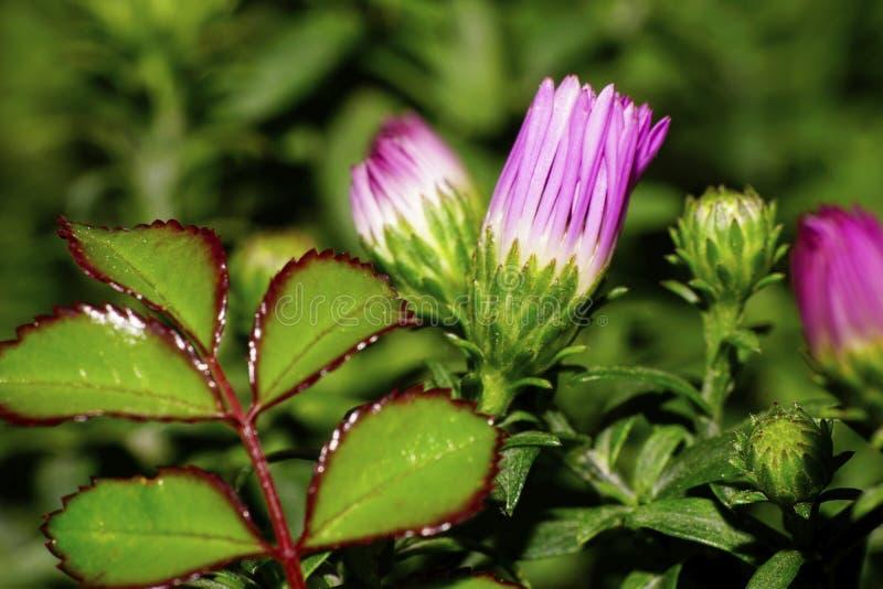 Macro de brotes rosados de las flores de asteres caucásicos foto de archivo libre de regalías