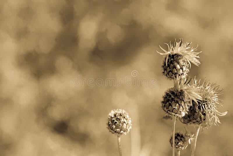 Macro de Brown de jacea de floraison de centaurée ou de Centaurea, fond, lumière d'antiquité photos libres de droits
