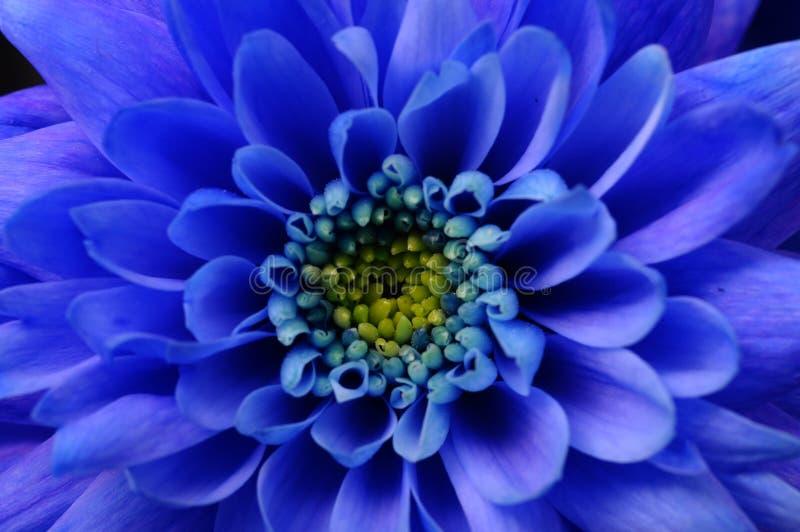 Macro de fleur bleue d'aster images stock