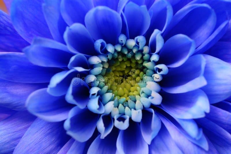 Macro de fleur bleue d'aster image libre de droits