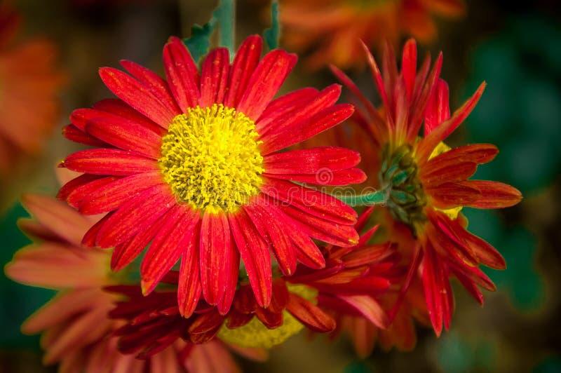 Macro de fleur de Gerber images stock