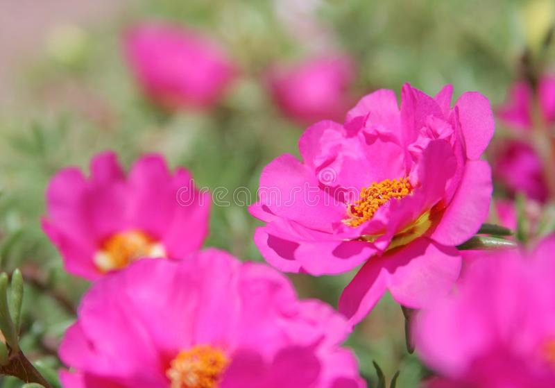 Macro de fleur de portulaca images libres de droits