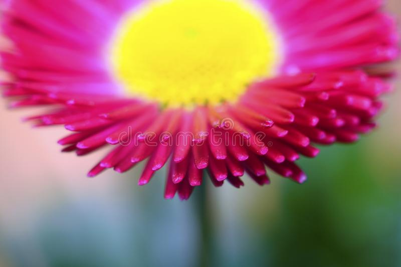 Macro de fleur rose et jaune de marguerite image libre de droits