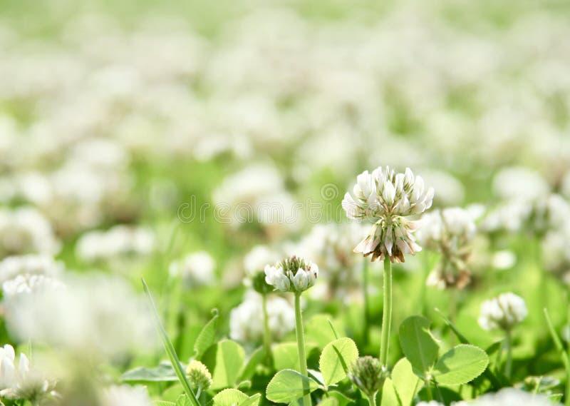 Macro de fleur de trèfle photographie stock libre de droits