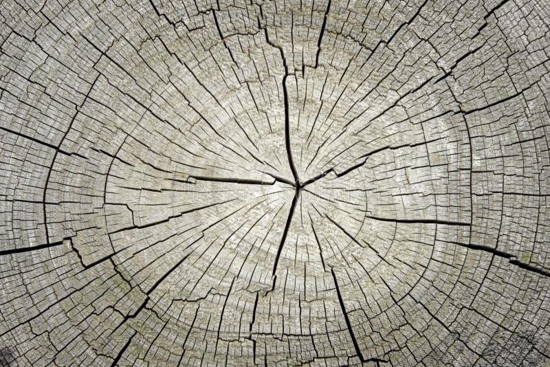Macro de  fond de section transversale d'arbre photographie stock
