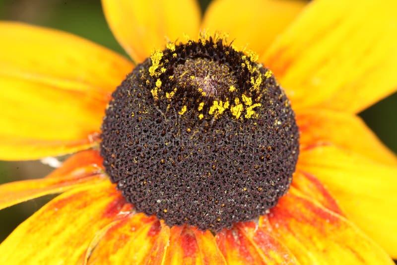 Macro de hirta de Rudbeckia, fleur aux yeux noirs de Susan photos stock