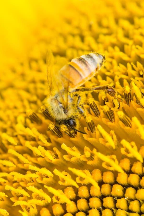 Macro de la abeja de la miel foto de archivo