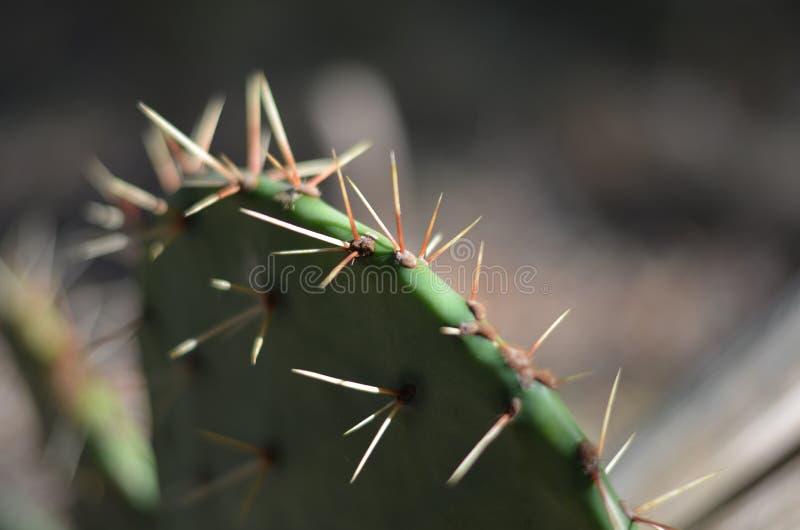 Macro de la aguja del cactus del higo chumbo (polyacantha de la Opuntia) fotografía de archivo