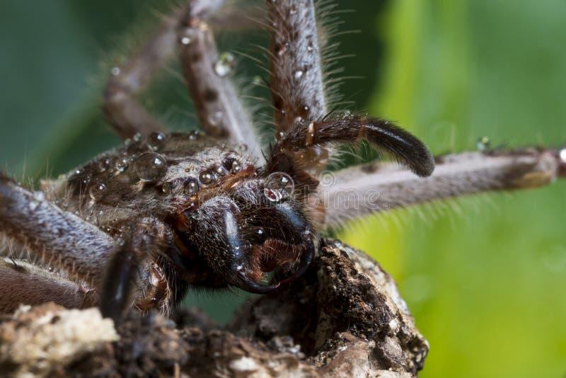 Macro de la araña del Huntsman fotografía de archivo libre de regalías