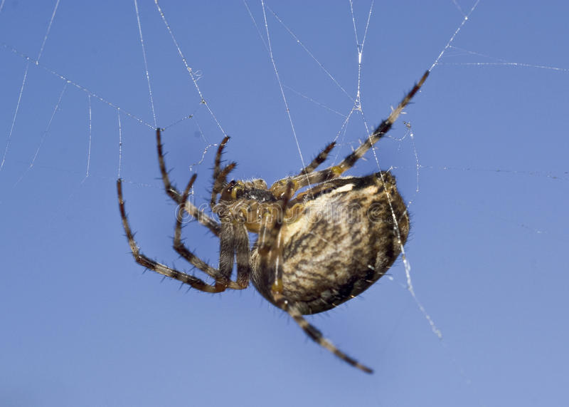 Macro de la araña en Web imagen de archivo libre de regalías