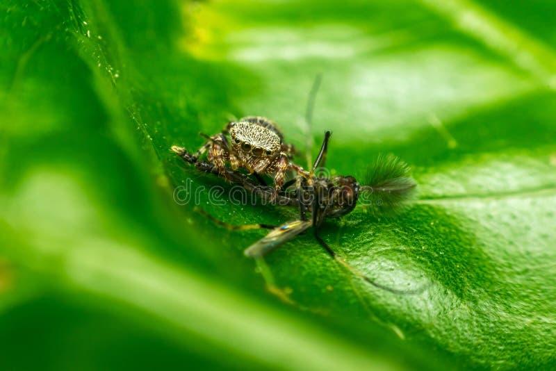 Macro de la araña que come el mosquito imagen de archivo libre de regalías