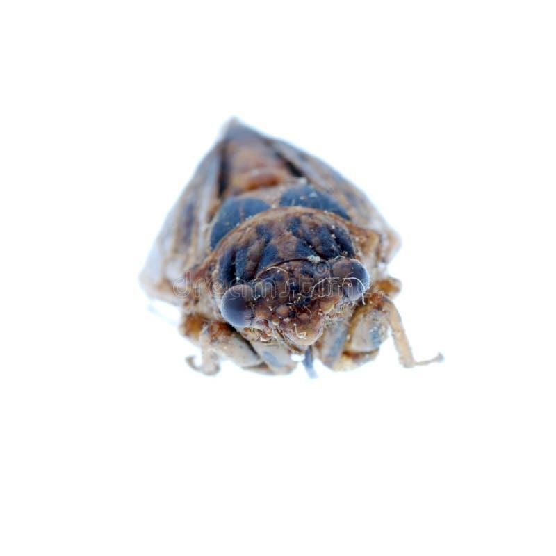 Macro de la cigarra del insecto aislada foto de archivo libre de regalías