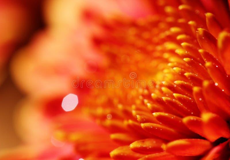 Macro de la flor bastante anaranjada del crisantemo fotos de archivo libres de regalías