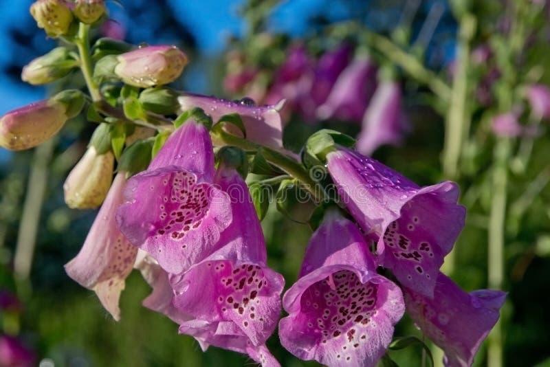 Macro de la flor de la dedalera fotografía de archivo