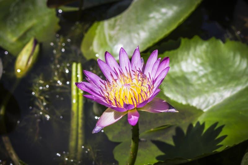 Macro de la flor de Lotus hermosa, lirio de agua púrpura imagen de archivo