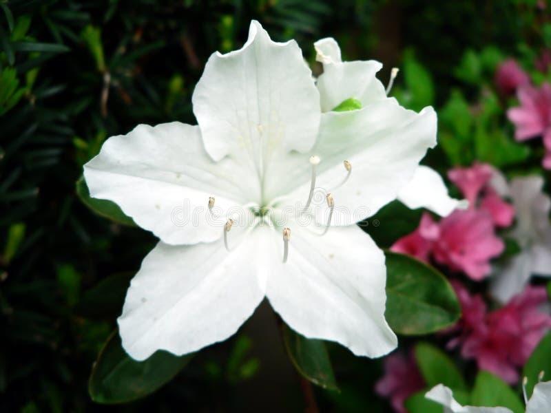 Macro de la flor del arbusto de la azalea foto de archivo libre de regalías