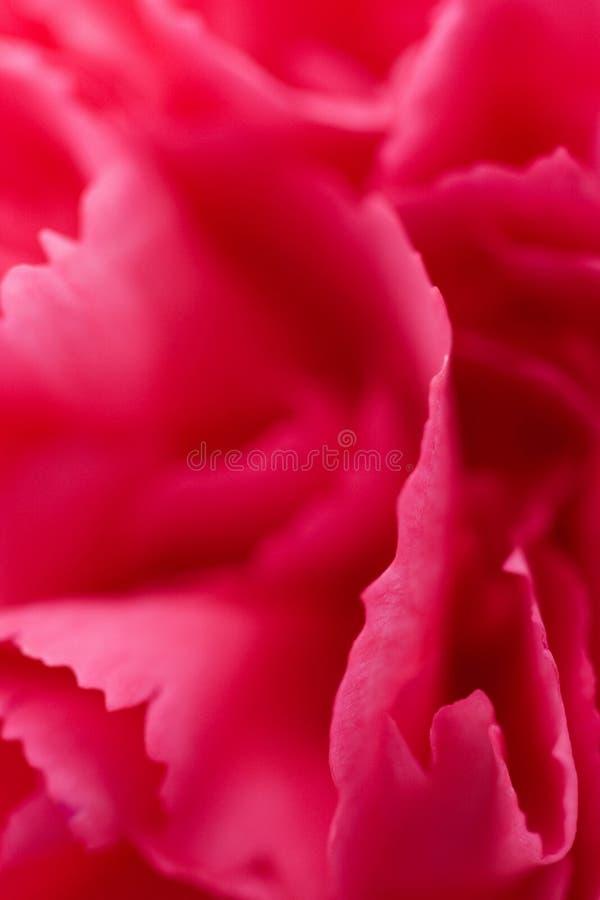 Macro de la flor del clavel imagen de archivo