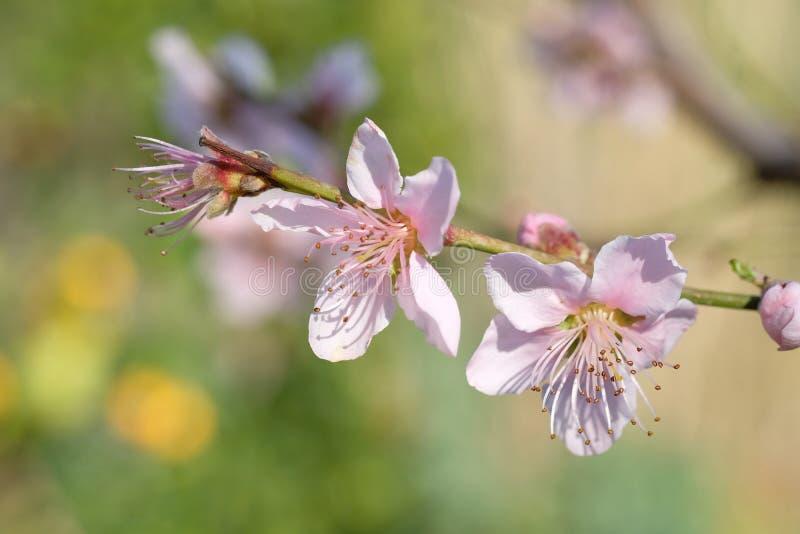 Macro de la flor del melocotón imagenes de archivo
