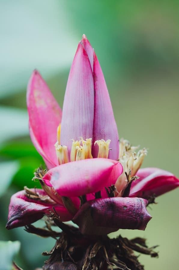 Macro de la flor del plátano imagenes de archivo