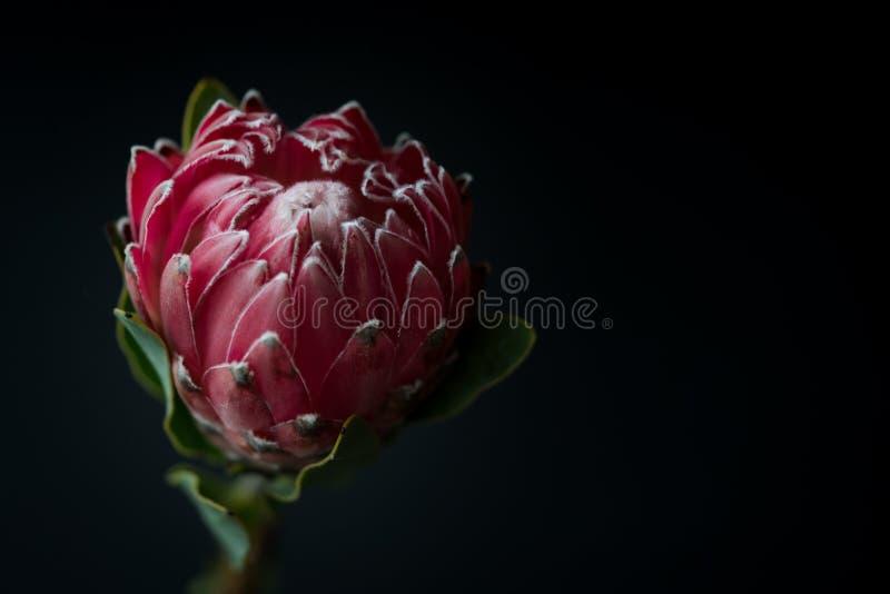 Macro de la flor del Protea de la reina en fondo negro imágenes de archivo libres de regalías