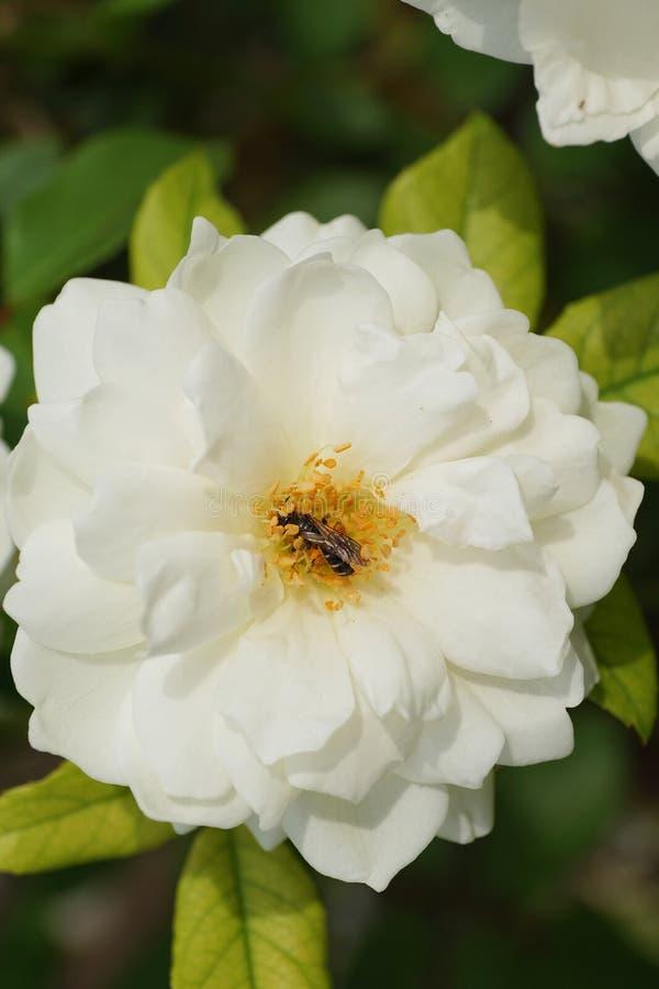 Macro de la flor de la rosa del blanco y del liendre rayado caucásico de Andrena de la abeja fotografía de archivo libre de regalías