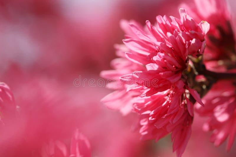 Macro de la flor rosada imagenes de archivo