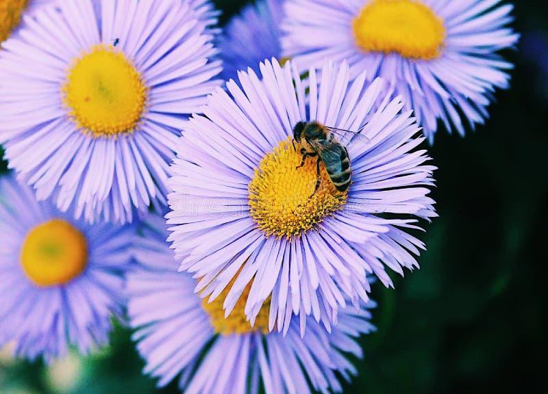 Macro de la flor y de la abeja de la primavera fotos de archivo