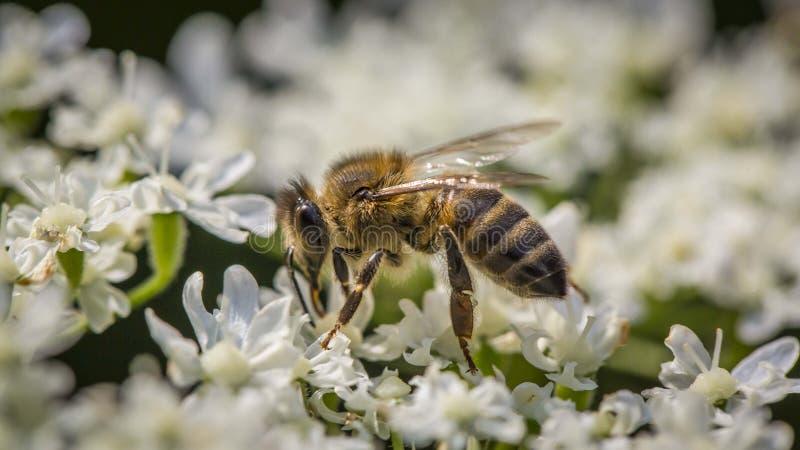 Macro de la flor y de la abeja imagenes de archivo