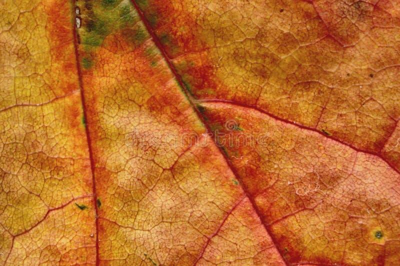 Macro de la hoja del otoño foto de archivo