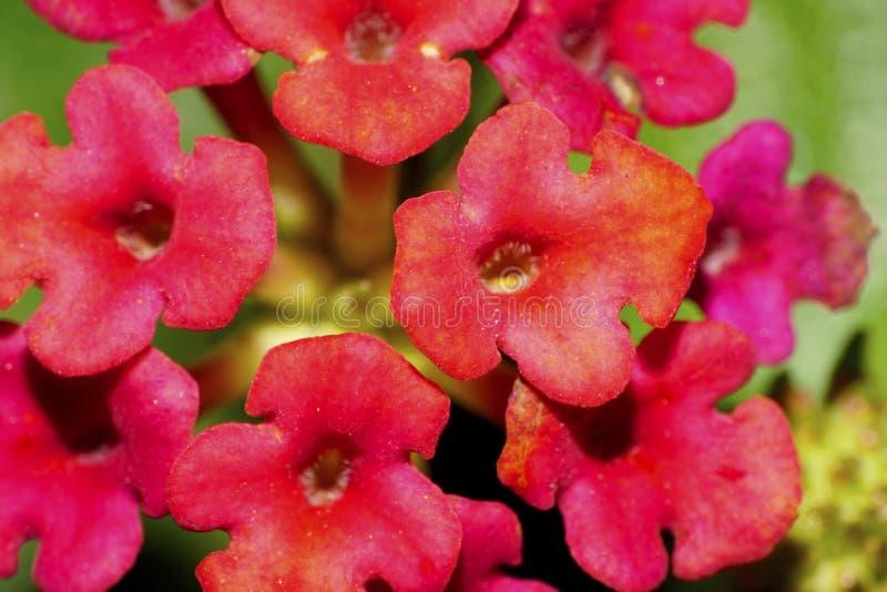 Macro de la inflorescencia compleja roja caucásica de la flor fotos de archivo
