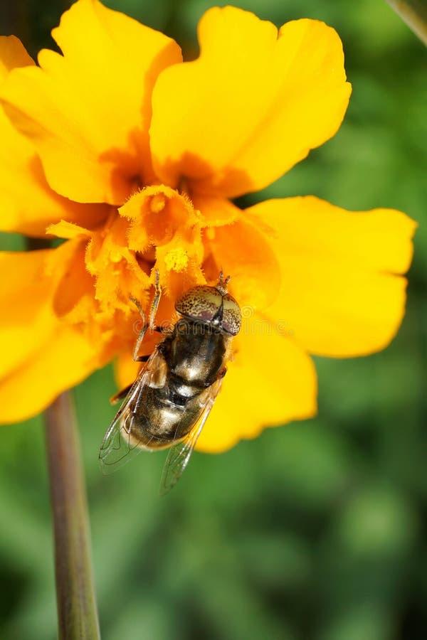 Macro de la inflorescencia del erecta amarillo de Tagetes de la maravilla foto de archivo