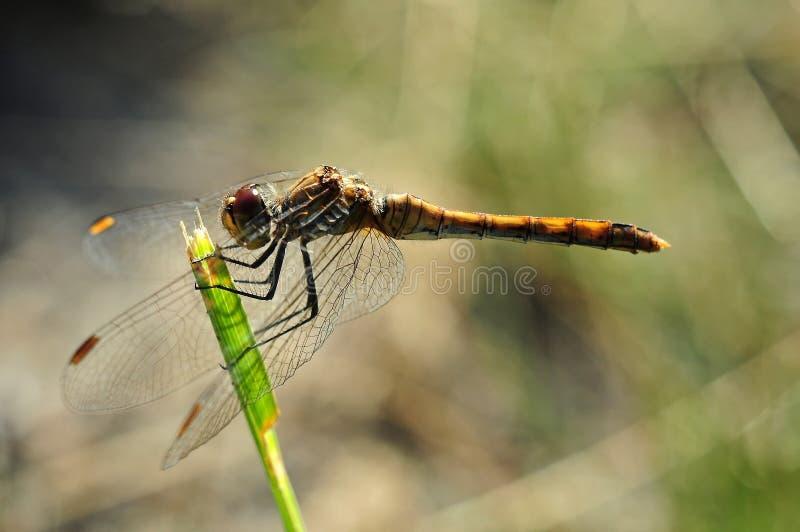 Macro de la libélula fotografía de archivo