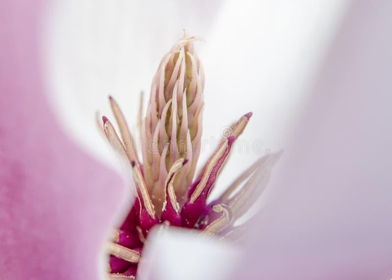 Macro de la magnolia imágenes de archivo libres de regalías