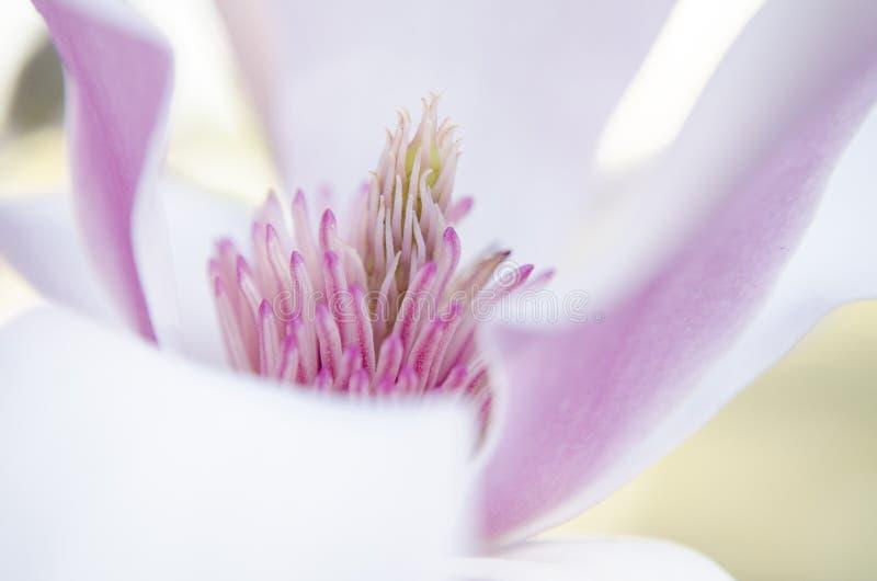 Macro de la magnolia fotos de archivo