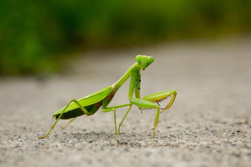 Macro de la mantis religiosa fotos de archivo libres de regalías