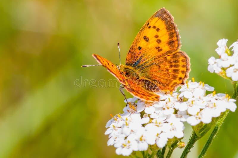 Macro de la mariposa imágenes de archivo libres de regalías