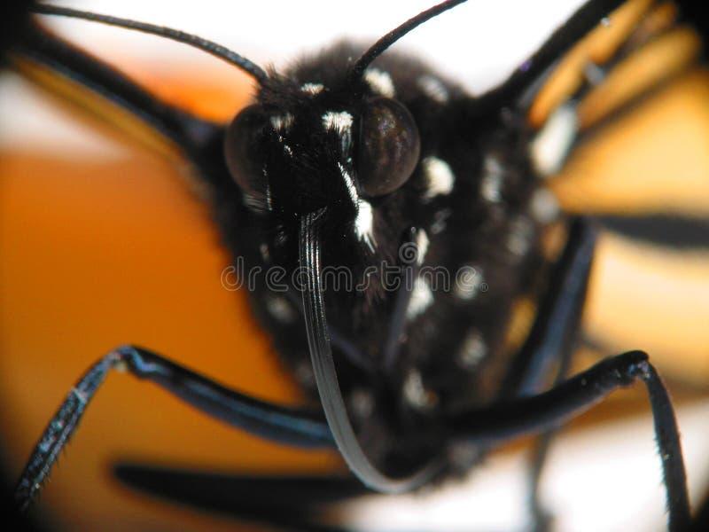 Macro de la mariposa de monarca foto de archivo libre de regalías