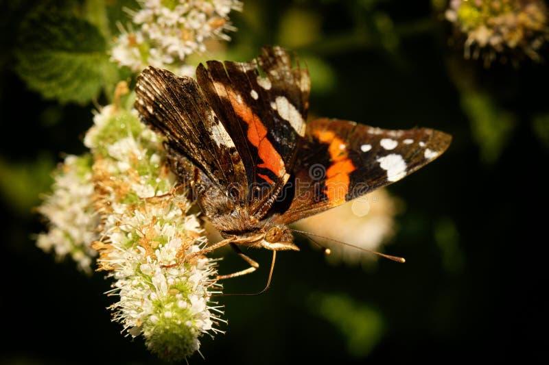 Macro de la mariposa de monarca imagenes de archivo