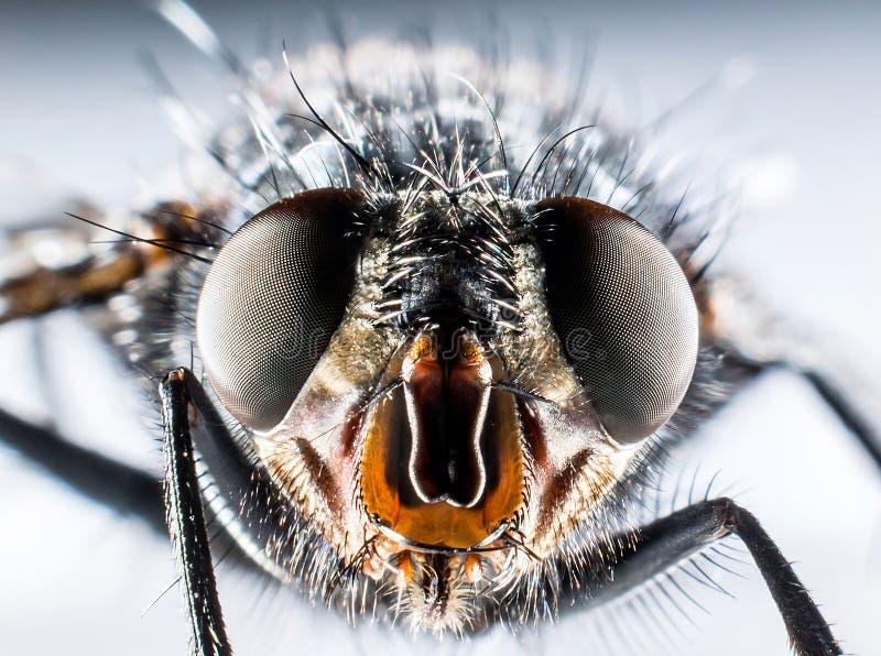 Macro de la mosca de la moscarda fotografía de archivo libre de regalías