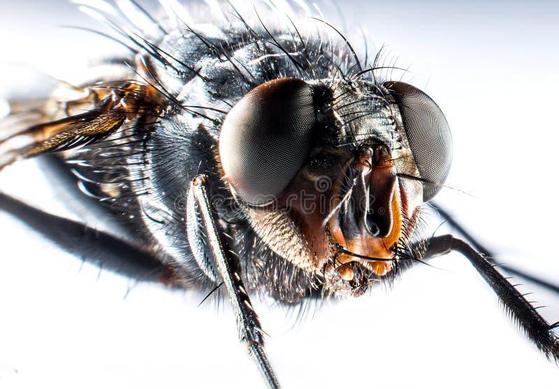 Macro de la mosca de la moscarda fotos de archivo libres de regalías